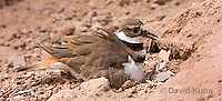 0510-1125  Killdeer, Adult Sitting on Eggs, Charadrius vociferus  © David Kuhn/Dwight Kuhn Photography