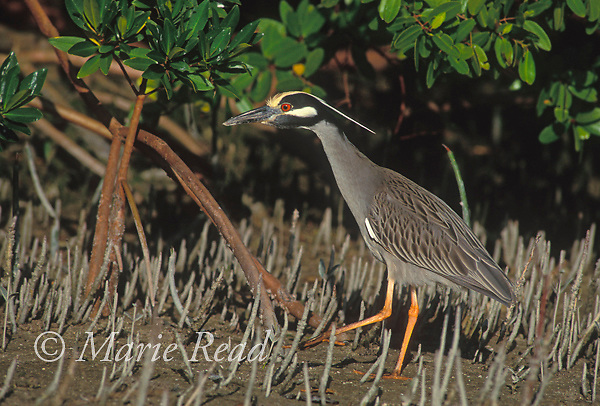 Yellow-crowned Night Heron (Nyctanassa violacea) foraging among mangrove pneumatophores, Ft. Myers, Florida, USA<br /> Slide # B17-1335