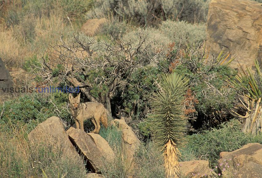 Canis latrans.Coyote.Arizona, USA..