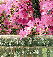 Azaleas bloom bright pink behind the old church wall in Historic section of South Carolina USA