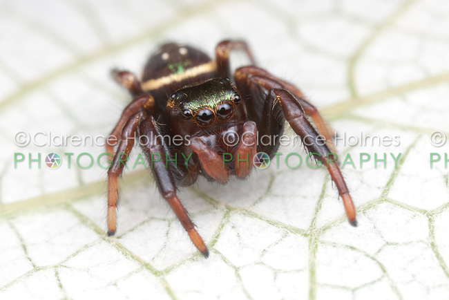 Jumping Spider (Paraphidippus aurantius) - Immature Female, West Harrison, Westchester County, New York