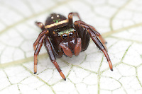 Jumping Spider (Paraphidippus aurantius) - Immature Female, West Harrison, Westchester County, New York