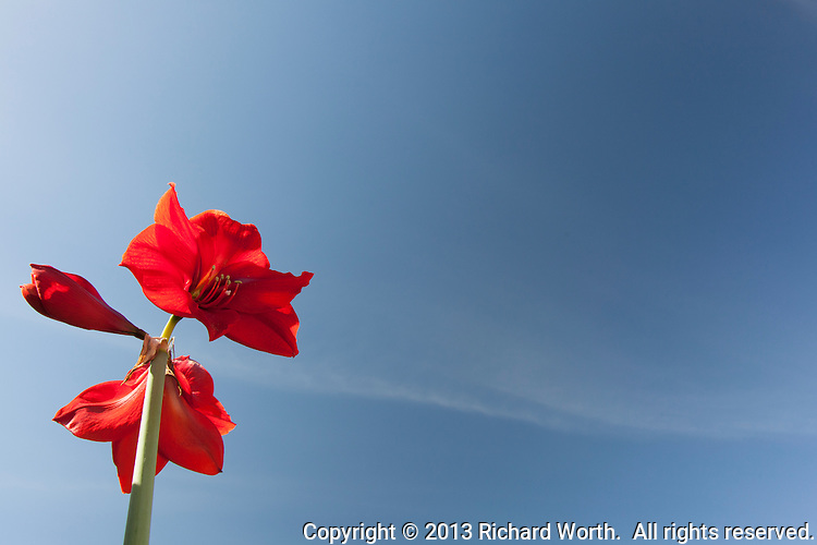 A red Amaryllis blooms against a blue sky with wisps of clouds.