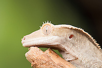 Crested Geko