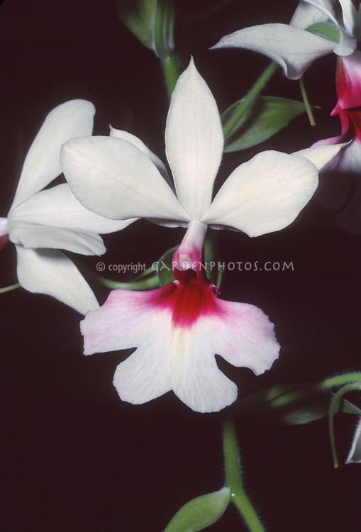 Calanthe Baron Schröder primary orchid hybrid of Calanthe regnieri x vestita var gigantea