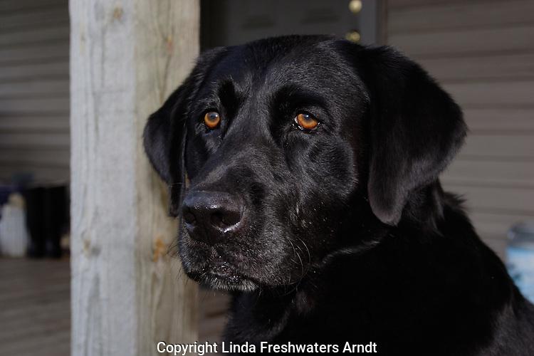 Black Labrador retriever (AKC) sitting on porch.  Close-up.  Winter, WI.