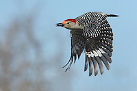 The Red-bellied is one of North America's smallest woodpeckers.
