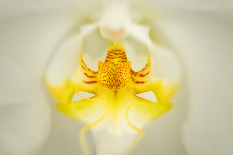 Close up of Phalaenopsis orchid. Oregon
