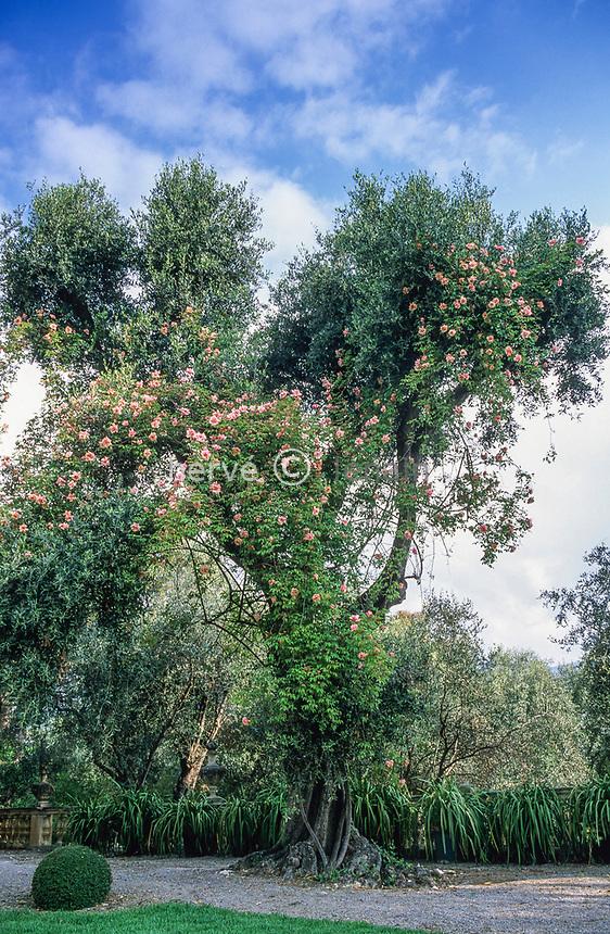 06/ Jardin botanique &quot;Les Cèdres&quot;<br /> Olivier et rosier 'Sénateur La Folette'<br /> (Olea et Rosa 'Sénateur La Folette')