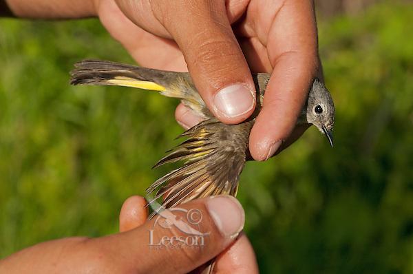 Immature Redstart (Setophaga ruticilla) has feathers examined during spring bird banding at Ottawa National Wildlife Refuge, Lake Erie, Ohio. USA.