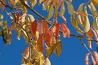 Gelbe Pavie, Gelbe Rosskastanie, Herbstlaub, Blätter im Herbst, Herbstfärbung, Laub, herbstliches Blattlaub, Appalachen-Rosskastanie, Aesculus flava, syn. Aesculus octandra, Yellow Buckeye, sweet buckeye