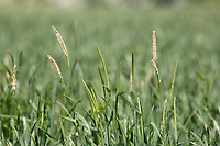 Blackgrass flowering <br /> &copy;Tim Scrivener Photographer 07850 303986<br /> ....Covering Agriculture In The UK....