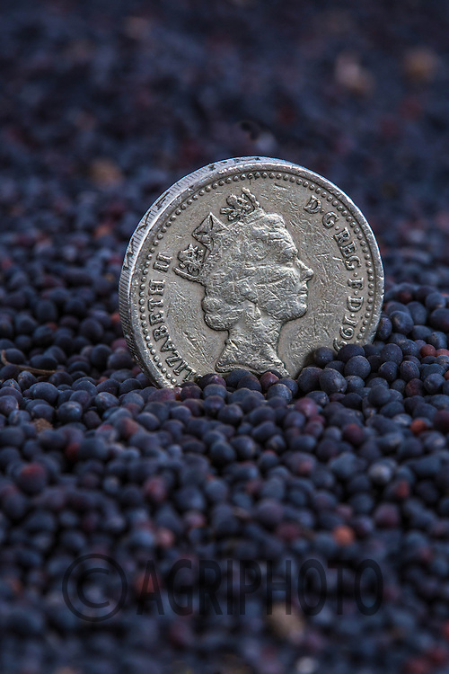 A pound coin in a heap of oilseed rape<br /> Picture Tim Scrivener 07850 303986
