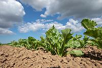 Sugare beet plants - Linclonshire, May