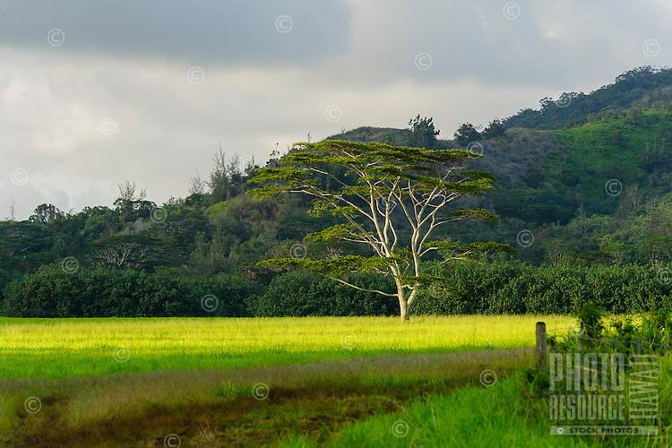 A pastoral scene in Koloa, Kaua'i.