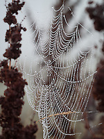 A Spiders Web Covered in Beads of Dew at Rainham Marshes, Essex