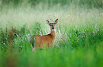 White tailed deer, Rose Valley Lake, Lycoming County PA