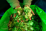 Coca vendor holds a handful of coca leafs for sale in a street market in La Paz.  The coca leaf plays a significant role in traditional Bolivian culture.  The leaf can be chewed or brewed as tea.  The traditional medical uses are for altitude sickness, fatigue and hunger.