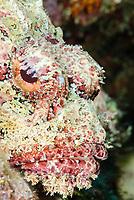 Spotted scorpionfish, Scorpaena plumieri,Bonaire, Caribbean Netherlands, Caribbean