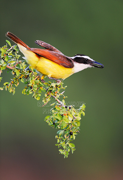 Great Kiskadee (Pitangus sulphuratus), adult eating berries, Dinero, Lake Corpus Christi, South Texas, USA