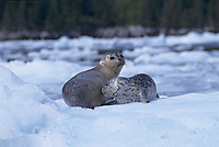 Harbor seal pup nursing on glacial iceberg, Meares Inlet, Prince William Sound, Alaska
