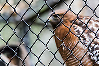 Chain link fence protects a Red-shouldered hawk, recovering at the Sulphur Creek Nature Center, Hayward, California.