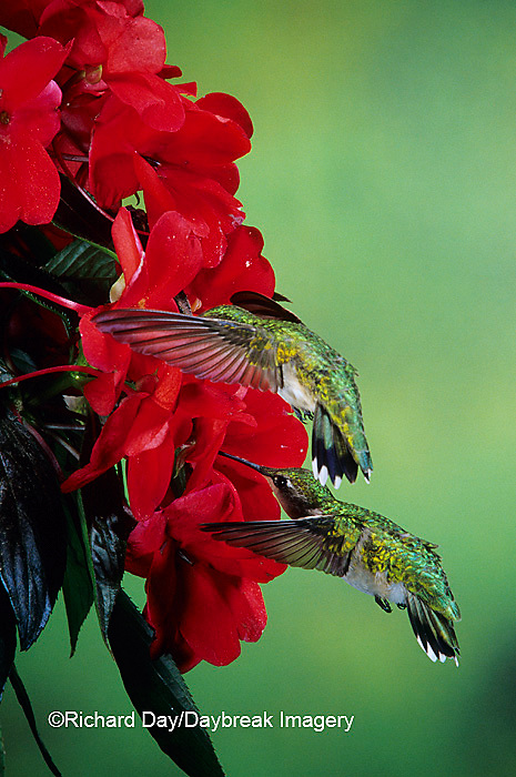 01162-05604 Ruby-throated Hummingbird (Archilochus colubris) females on Impatiens (New Guinea Hybrid) Shelby Co.  IL