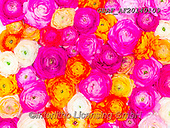 Assaf, LANDSCAPES, LANDSCHAFTEN, PAISAJES, photos,+Close-Up, Directly Above, Floral, Flower, Flowers, Full Frame, Multicolored, Multicoloured, Ranunculus,Close-Up, Directly Abo+ve, Floral, Flower, Flowers, Full Frame, Multicolored, Multicoloured, Ranunculus+++,GBAFAF20140109,#l#, EVERYDAY