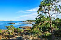 Tall på klippa vid hav och horisont på Utö i Stockholms skärgård