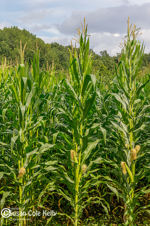 Corn growing in Pownal, Vermont, USA