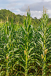 Corn growing in Pownal, Vermont, USA