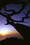 Old snarled tree Torrey Pines sunset on Pacific Ocean California, California Fine Art Photography by Ron Bennett,