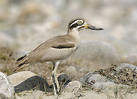 Great Thick-knee - Esacus recurvirostris