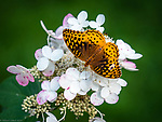 Butterfly, Great Spangled Fritillary
