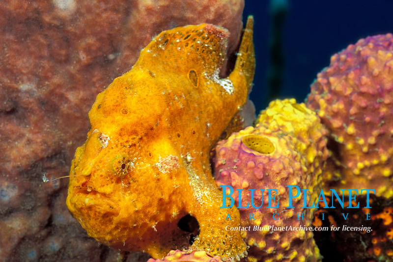 longlure frogfish or anglerfish, Antennarius multiocellatus, with illicium, or fishing pole, and lure extended, St. Vincent or Saint Vincent (Eastern Caribbean Sea)