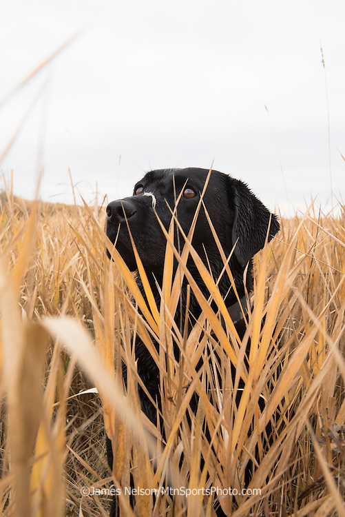 A black Labrador retriever with a mallard feather on her snout watches as incoming ducks circle the decoys during a  waterfowl hunt in southeastern Idaho.