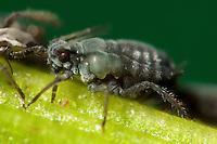 Blattlaus, Blattläuse, saugt mit Stechrüssel Pflanzensaft