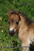 Bob, ANIMALS, REALISTISCHE TIERE, ANIMALES REALISTICOS, horses, photos+++++,GBLA3942,#a#, EVERYDAY