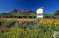 South Africa, Cape Town, Winelands, Paarl, wine growing estate Backsberg and Simonsberg mountain