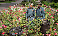 Rabinderpal Dhillon P'09 and Cresencio Acebedo Cordero trim the rose bushes near the Academic Quad on Aug. 6, 2015. Rabinderpal has worked at Oxy for 27 years, Cresencio for 8.<br /> (Photo by Marc Campos, Occidental College Photographer)
