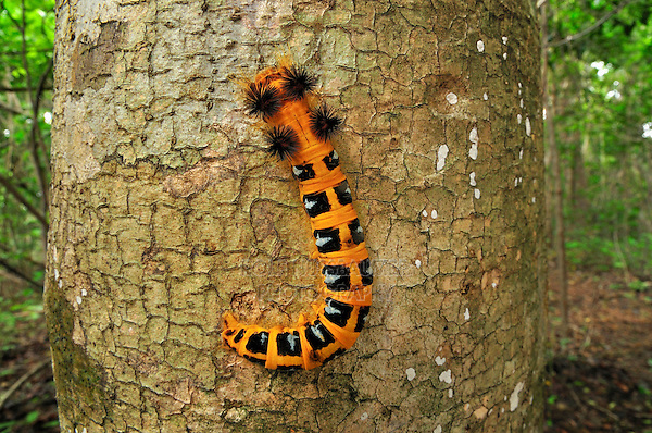 .Moth caterpillar (Borocera), Lasiocampidae, on a tree trunk, Ankarana National Park, Northern Madagascar