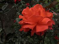 BOGOTÁ-COLOMBIA-15-01-2013. Rosa naraja, Dale. Rose orange, Dale.  (Photo:VizzorImage)