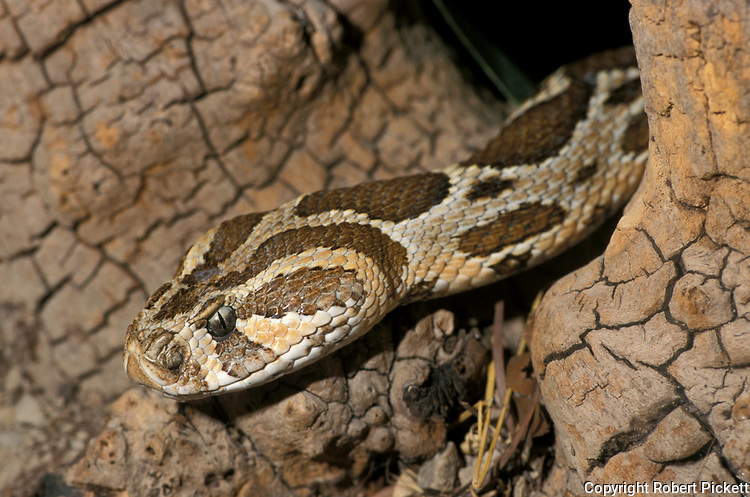 Palestine Viper, Vipera palaestine, head sticking out of log hole, brown patterned snake