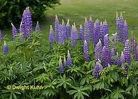 FB04-501z Lupine Flowers, Lupinus perennis