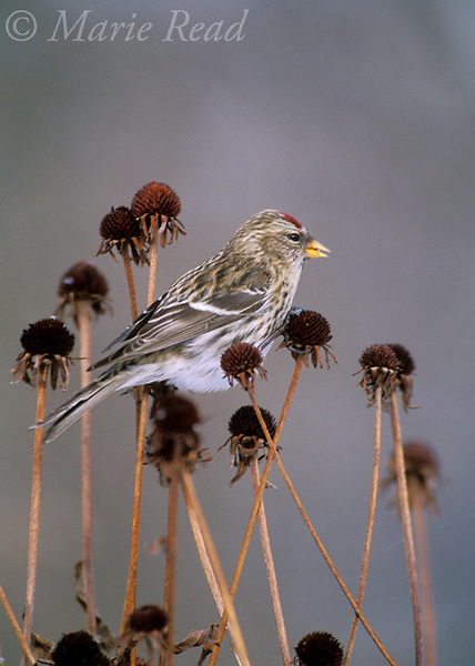 Common Redpoll (Carduelis flammea) female using her tiny bill to feed on seeds of black-eyed susans (Rudbeckia sp.), New York, USA<br /> Slide # B167-2084
