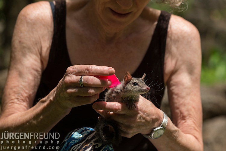 Margit Cianelli combs a baby northern quoll.  The northern quoll (Dasyurus hallucatus), also known as the northern native cat, the satanellus, the North Australian native cat or the njanmak (in the indigenous Mayali language), is a carnivorous marsupial native to Australia.