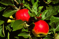 Ripe Red Apples growing on Orchard Tree Branch, South Okanagan Valley, BC, British Columbia, Canada - Fresh Fruit
