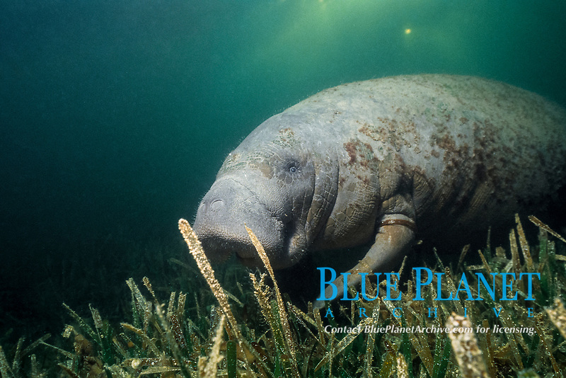 West Indian manatee or Antillean manatee, Trichechus manatus manatus, feeds on turtle grass, Thalassia testudinum, Belize, Central America, Caribbean Sea, Atlantic Ocean
