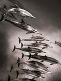 USA, Hawaii, Lana'i, a pod of spinner dolphin swimming at Manele Bay (B&W)