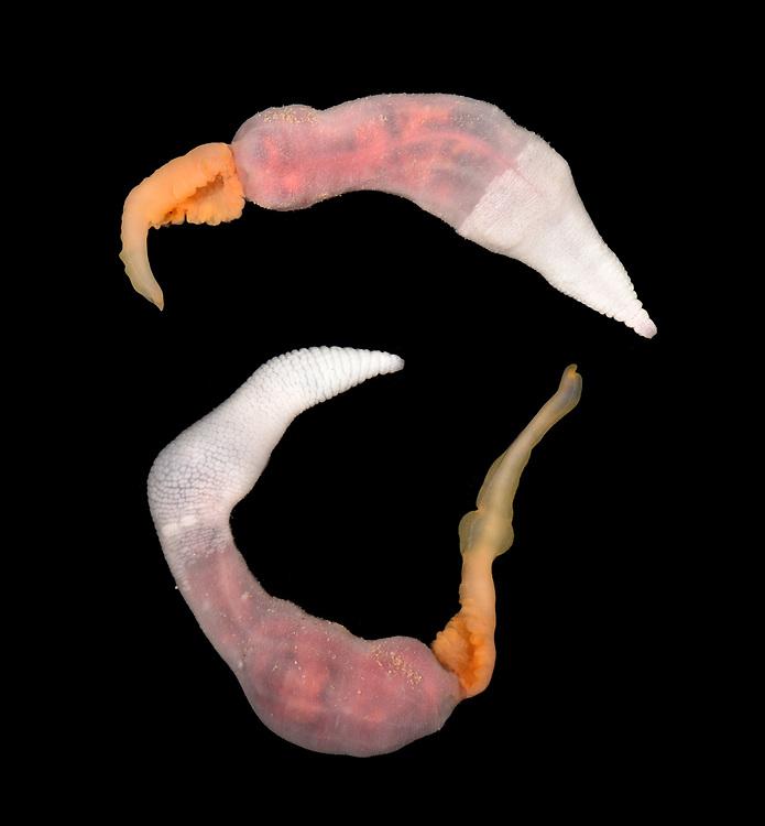 Thalessema thalassemum - A Spoon worm, phylum Echiura